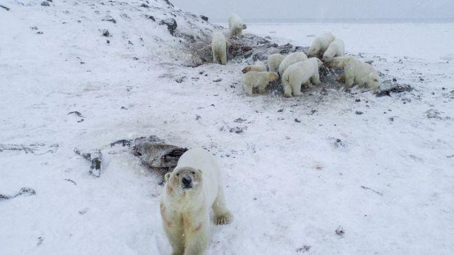 俄罗斯村庄被56只北极熊包围 居民或永久撤离