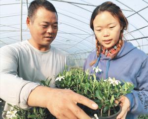 """这盆叫""""香雪""""的栀子花 属国内新品种"""