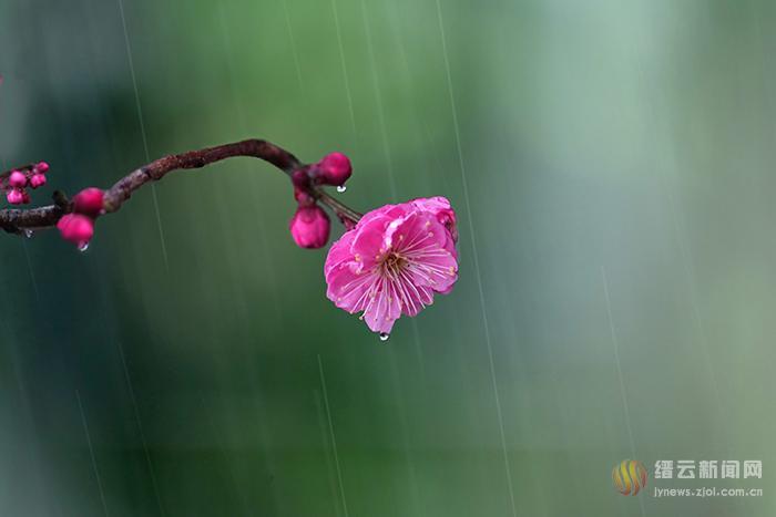 雨中红梅 俏报春