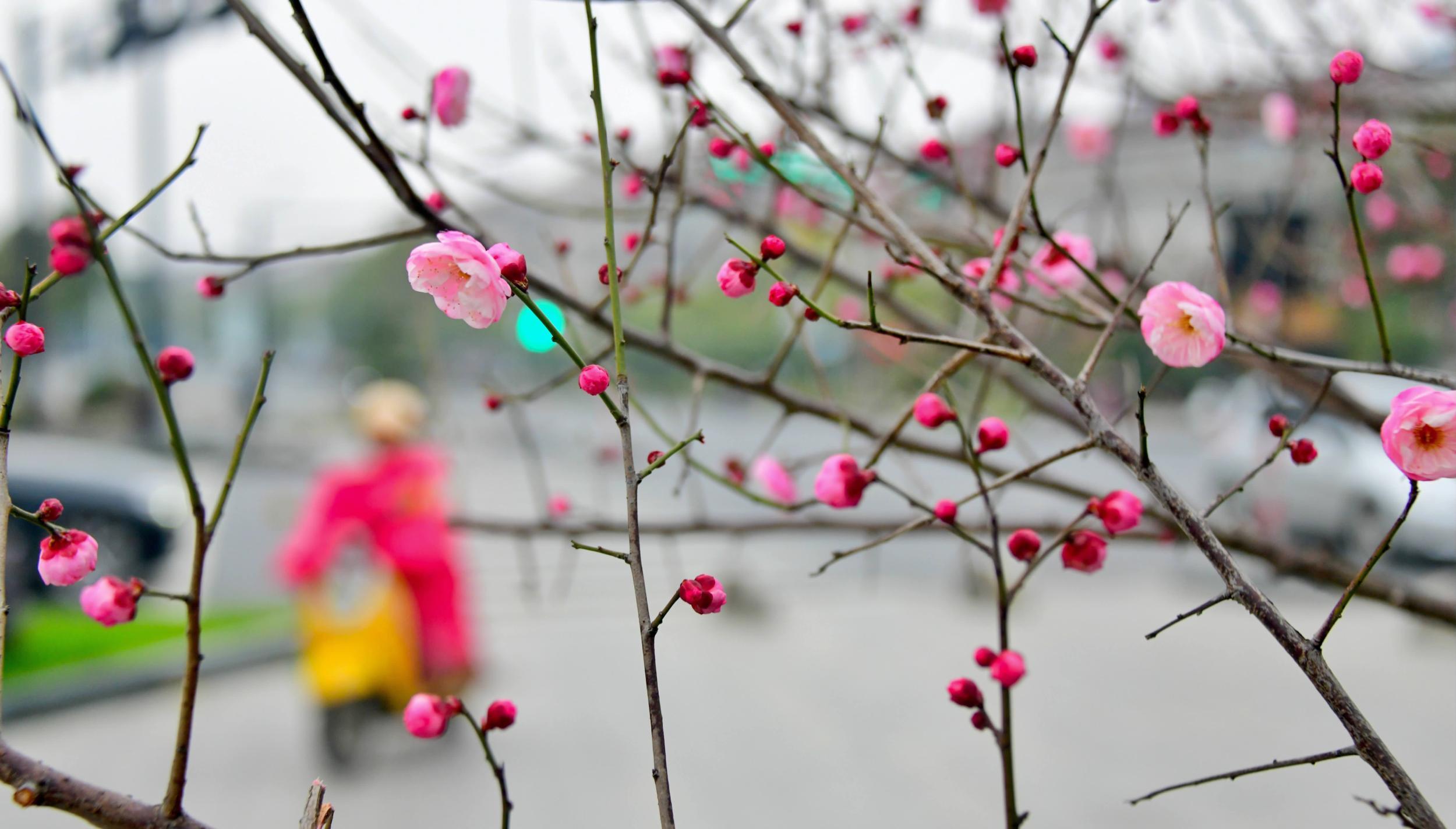 红梅绽放迎新春