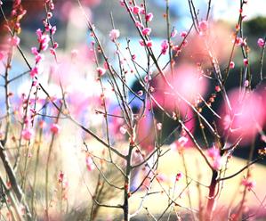 梅花绽放迎春来