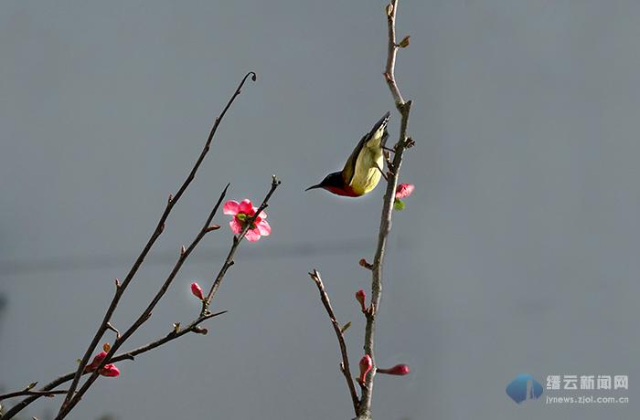 海棠暖阳鸟栖枝