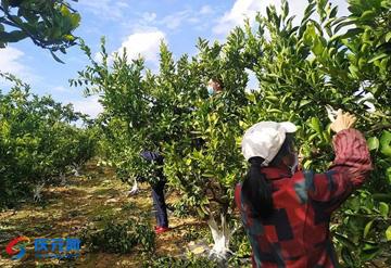 全县甜桔柚种植主体100%复工复产