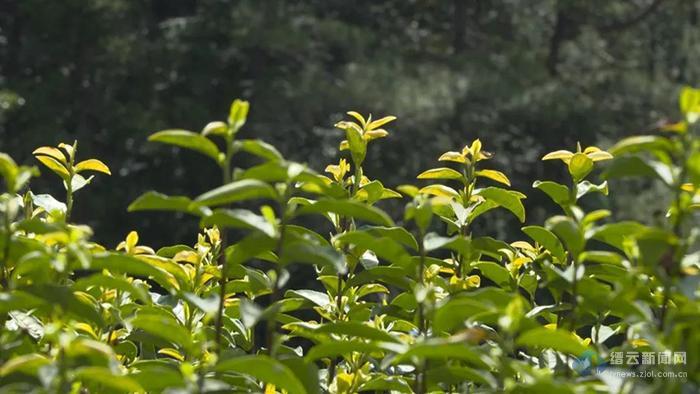 大棚黄茶争早春