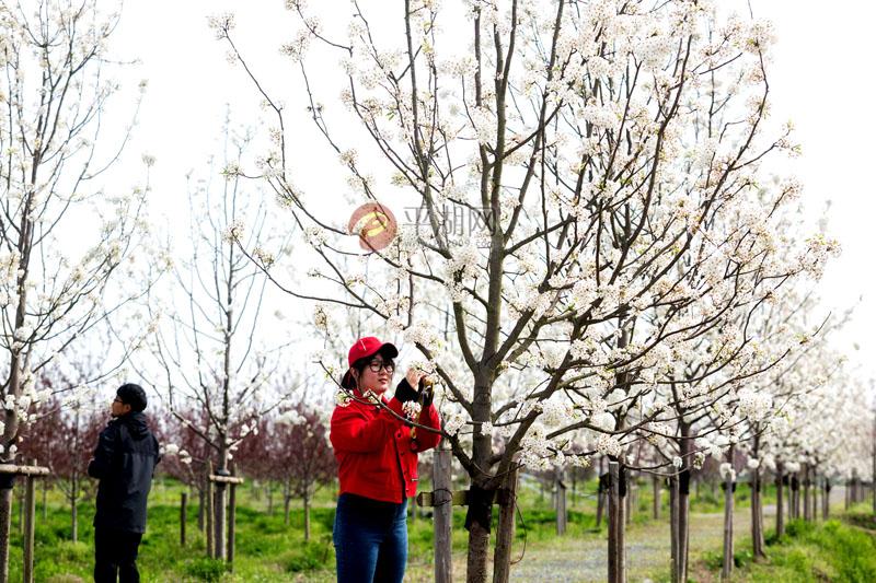 千树万树 梨花开