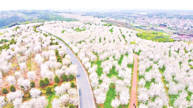 崇仁镇前村千亩樱花盛开
