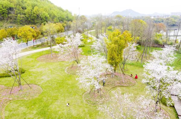 下渚湖畔樱花烂漫