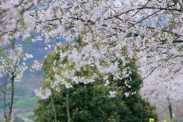 打卡网红地---崇仁镇前村樱花林