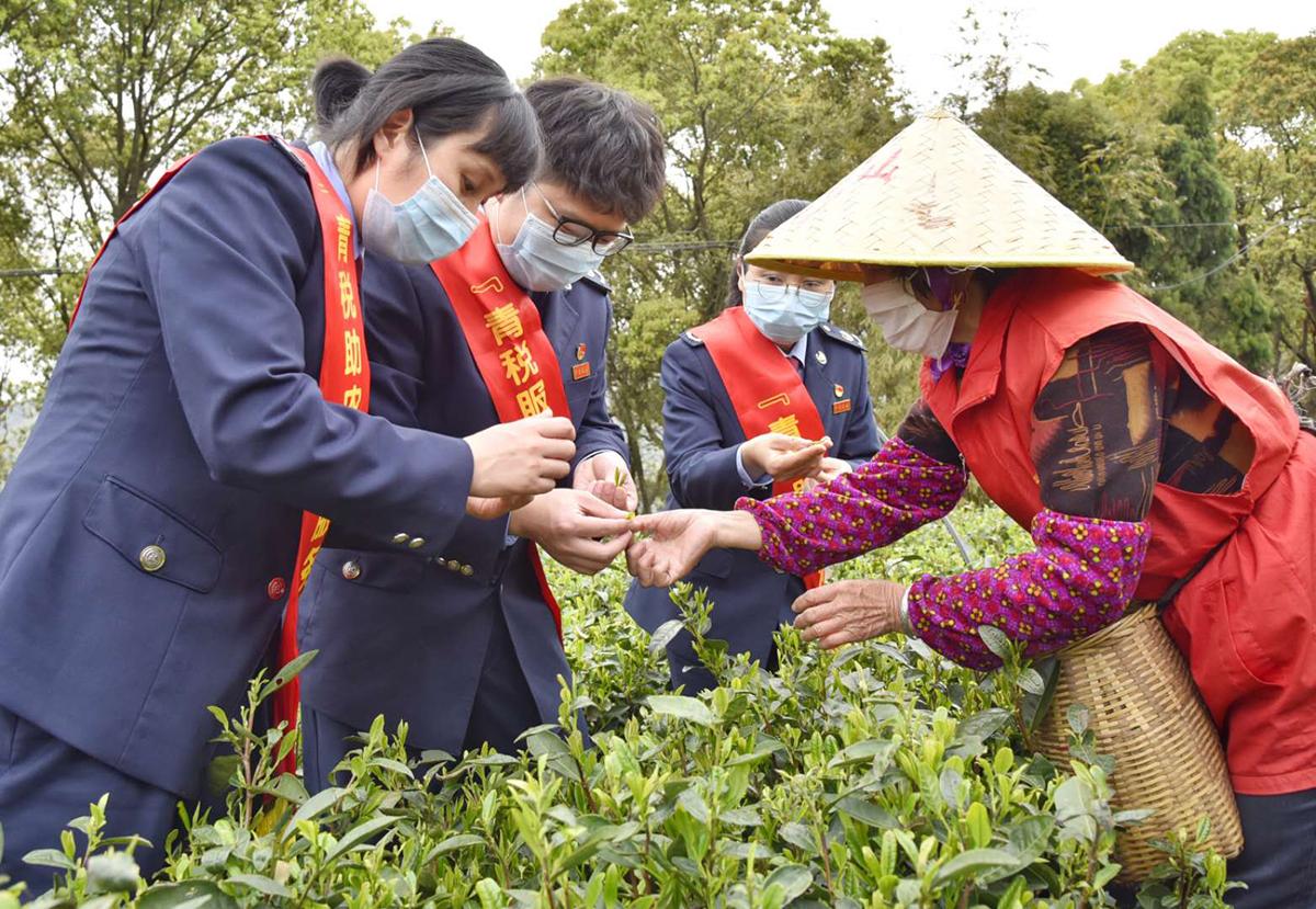 """""""玉环青税""""有点忙,周末采茶来助农"""