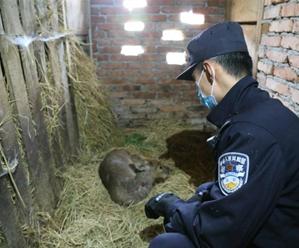 野生獐受伤 民警及时救助