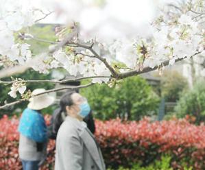 小城春意浓 满树樱花开