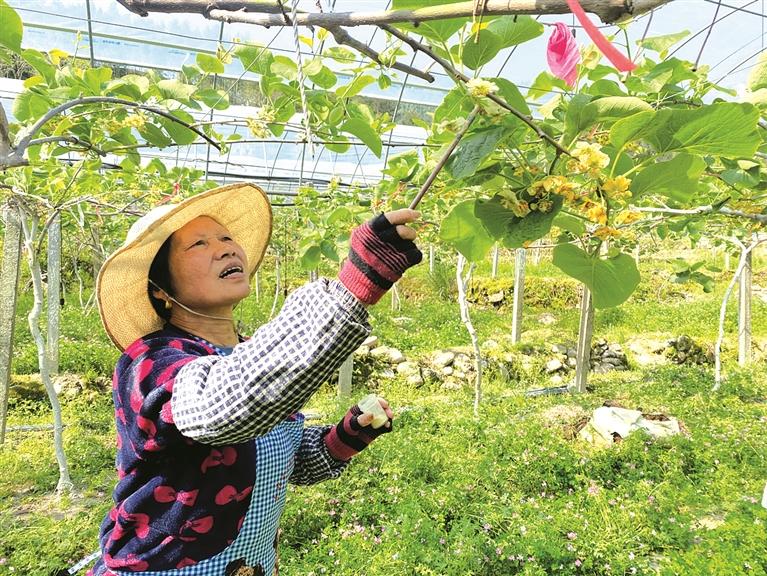 果农正在进行猕猴桃人工授粉