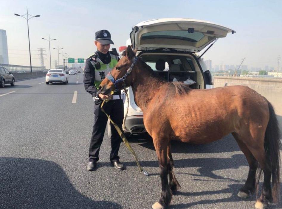 早高峰杭州高架桥惊现迷途小马 交警护送它回家