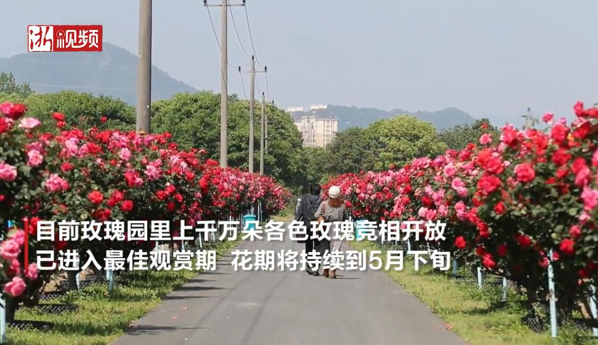 澳客彩票下载:千万玫瑰绽放富春江畔 美丽乡村开启玫瑰之约