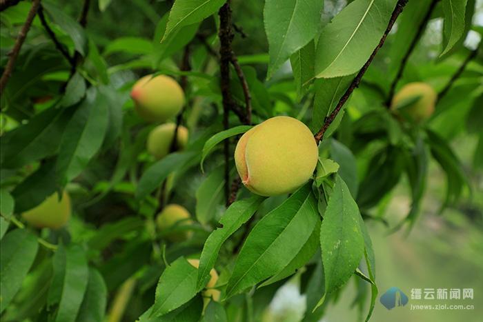 桃子压枝垂