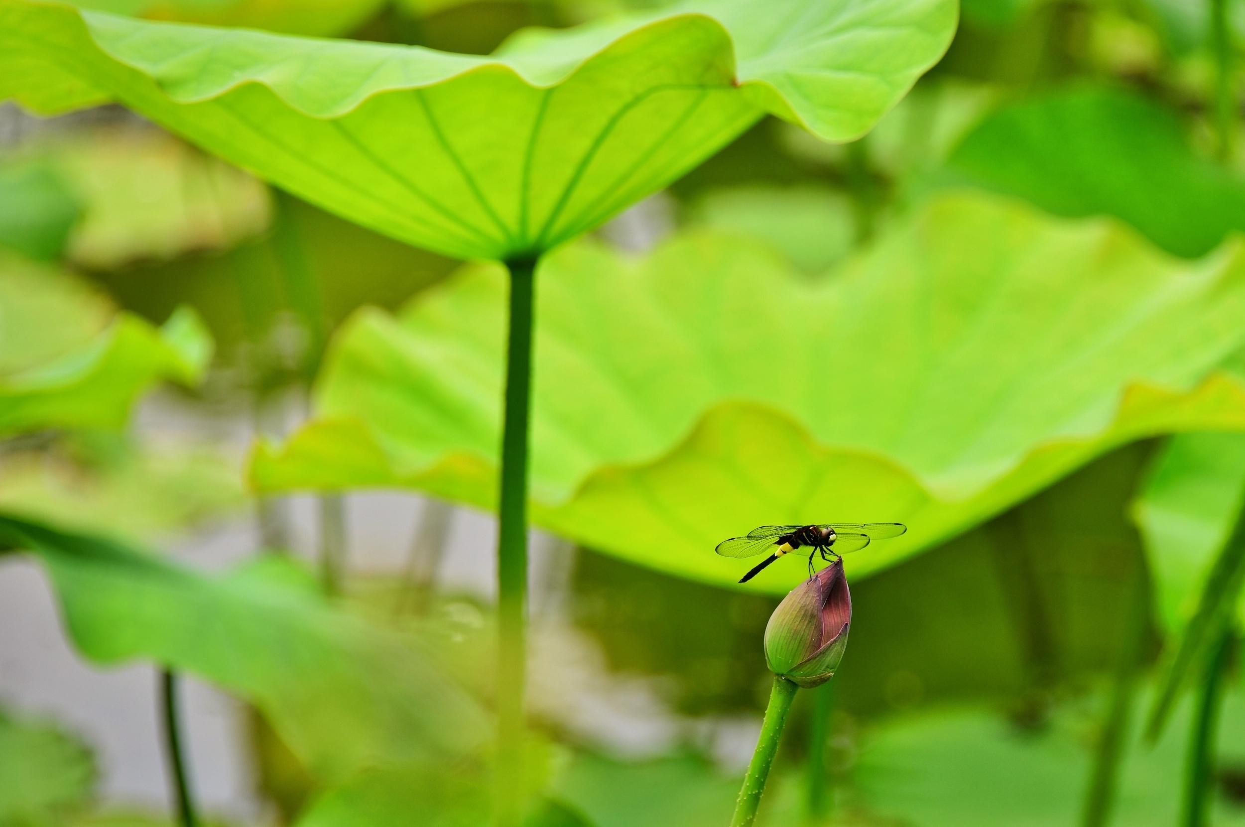 小荷才露尖尖角早有蜻蜓立上头