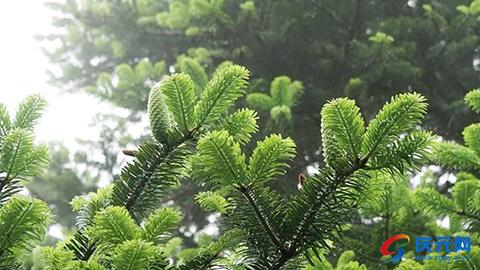 烟雨迷蒙 冷杉翠绿
