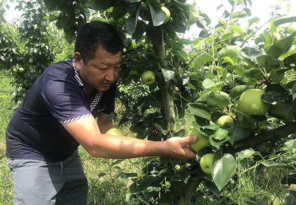 """100亩苹果梨怎么销?""""线上+采摘""""成销售新模式"""
