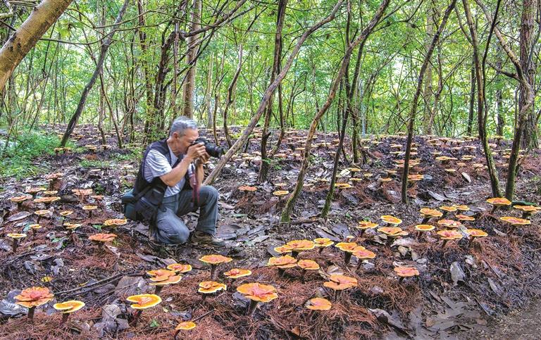 兰巨乡大赛村梅地自然村有着林下人工种植灵芝的极佳自然环境