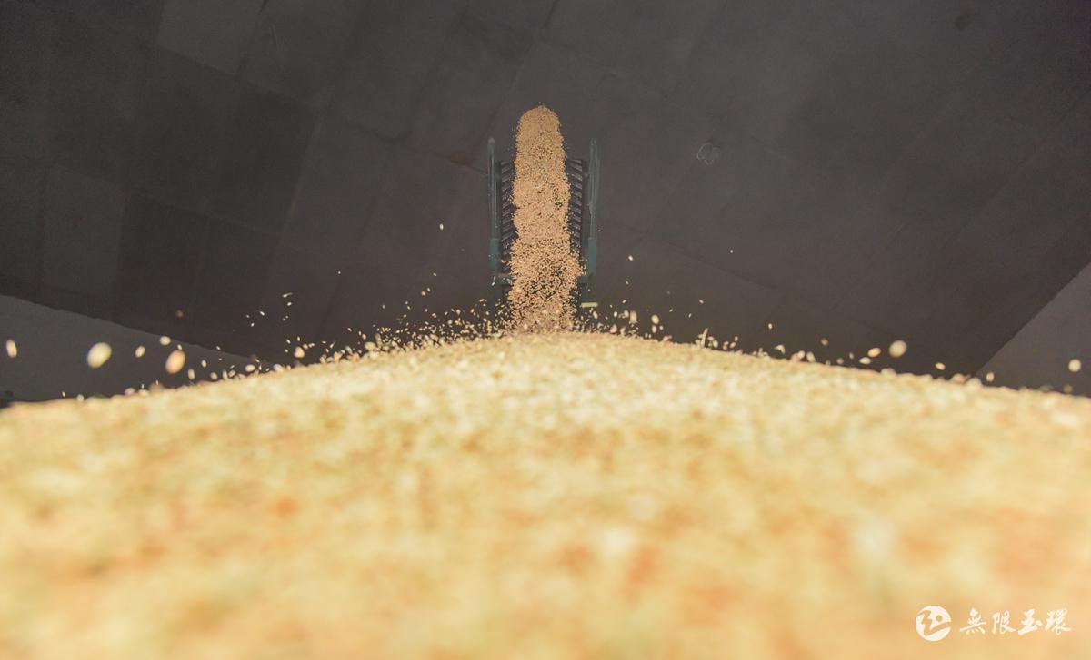 夏粮入库拉开序幕!玉环今年计划收购早稻1310余吨