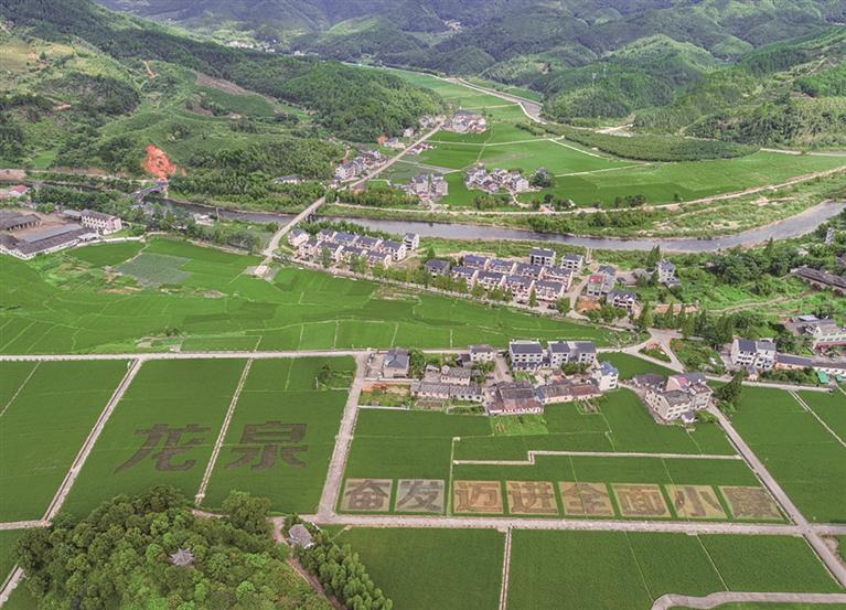 """小梅镇黄南村村民们利用彩色水稻种植出""""龙泉 奋发迈进全面小康""""醒目大字"""