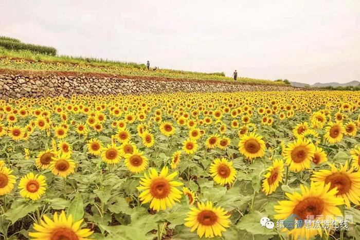 水口村:唯有葵花向日倾