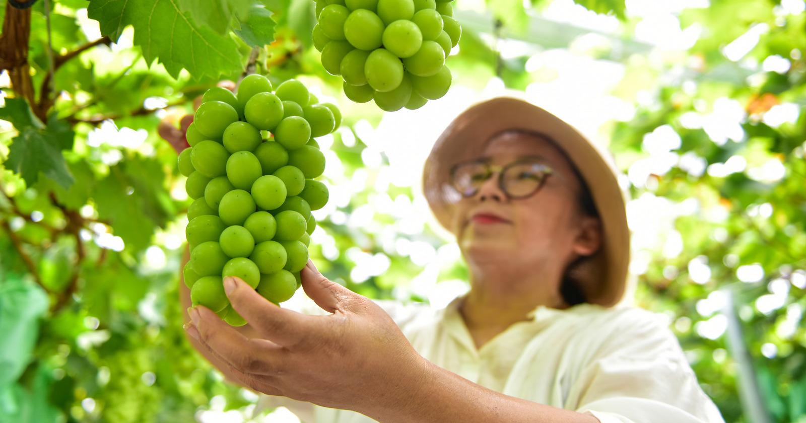 又到葡萄成熟时