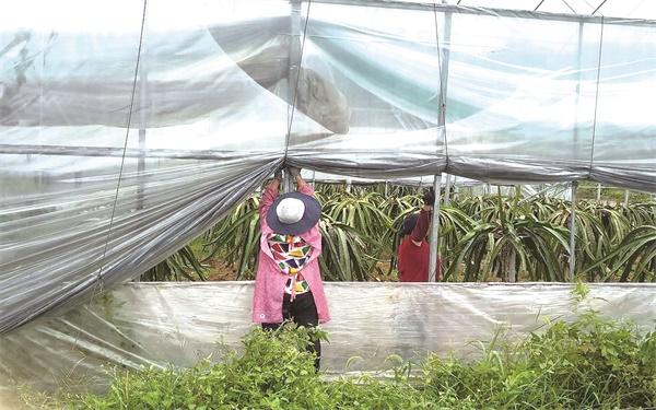 """台风""""黑格比""""即将到来农户加紧拆除薄膜"""
