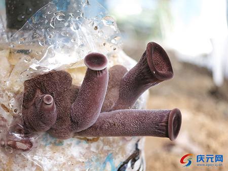 �h食用菌科研中心成功�Z化栽培出�q柄香菇