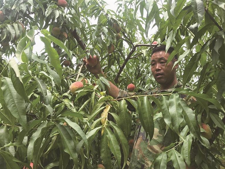 宝溪乡高塘村塘上自然村17亩桃园迎来收获季