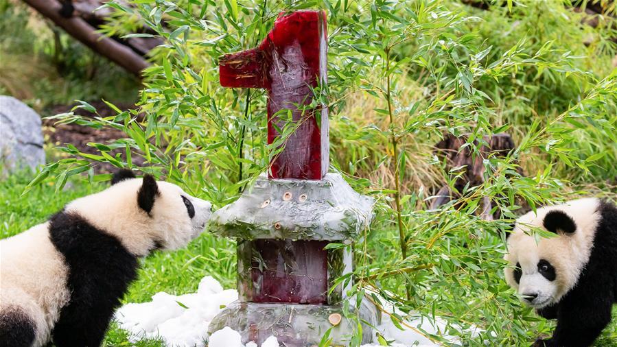 德国柏林动物园为大熊猫双胞胎庆生