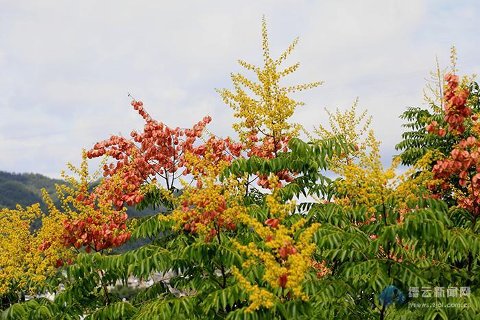 栾树开花又一秋