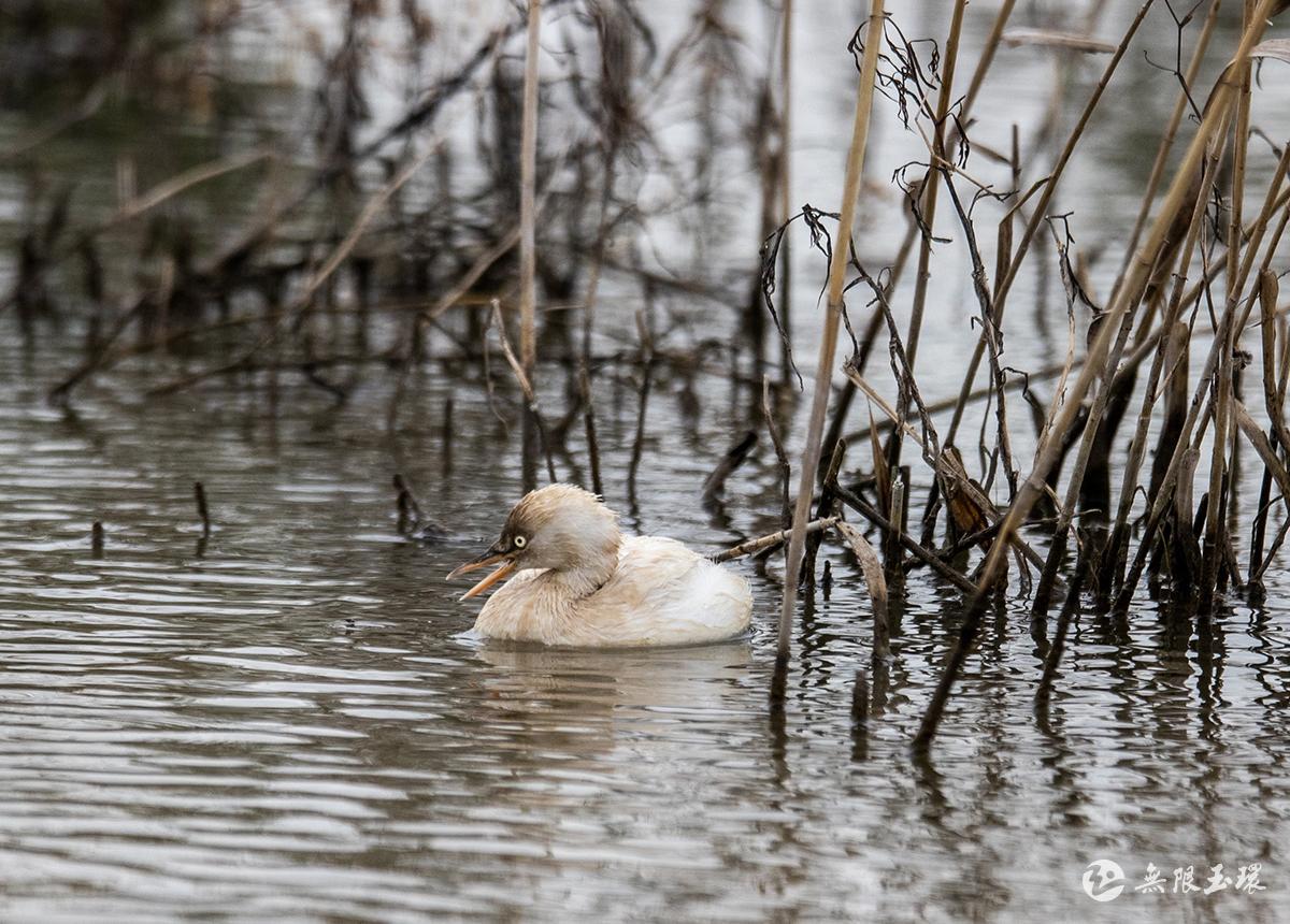 惊喜!漩门湾湿地发现白化(辟鸟)(�鸟)