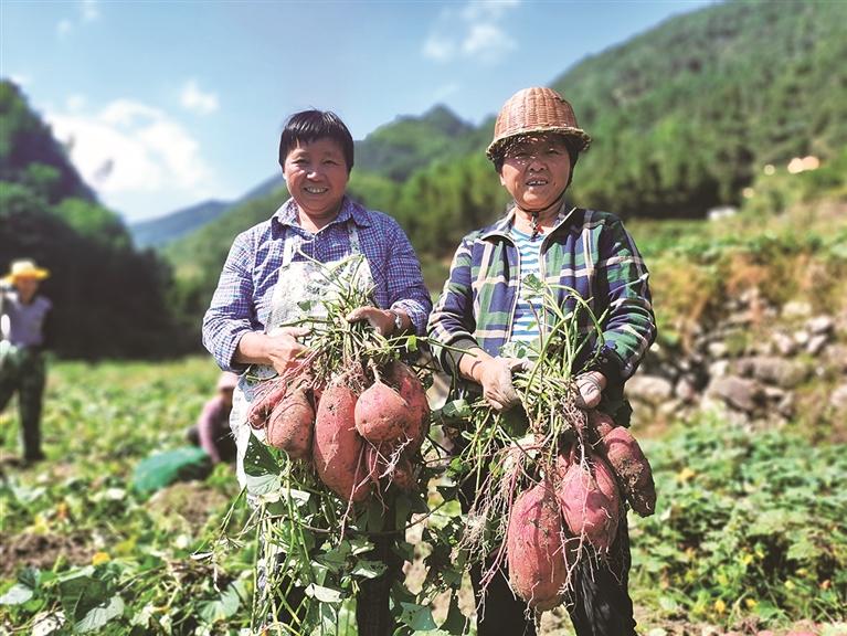 我市各乡镇(街道)迎来红薯大丰收