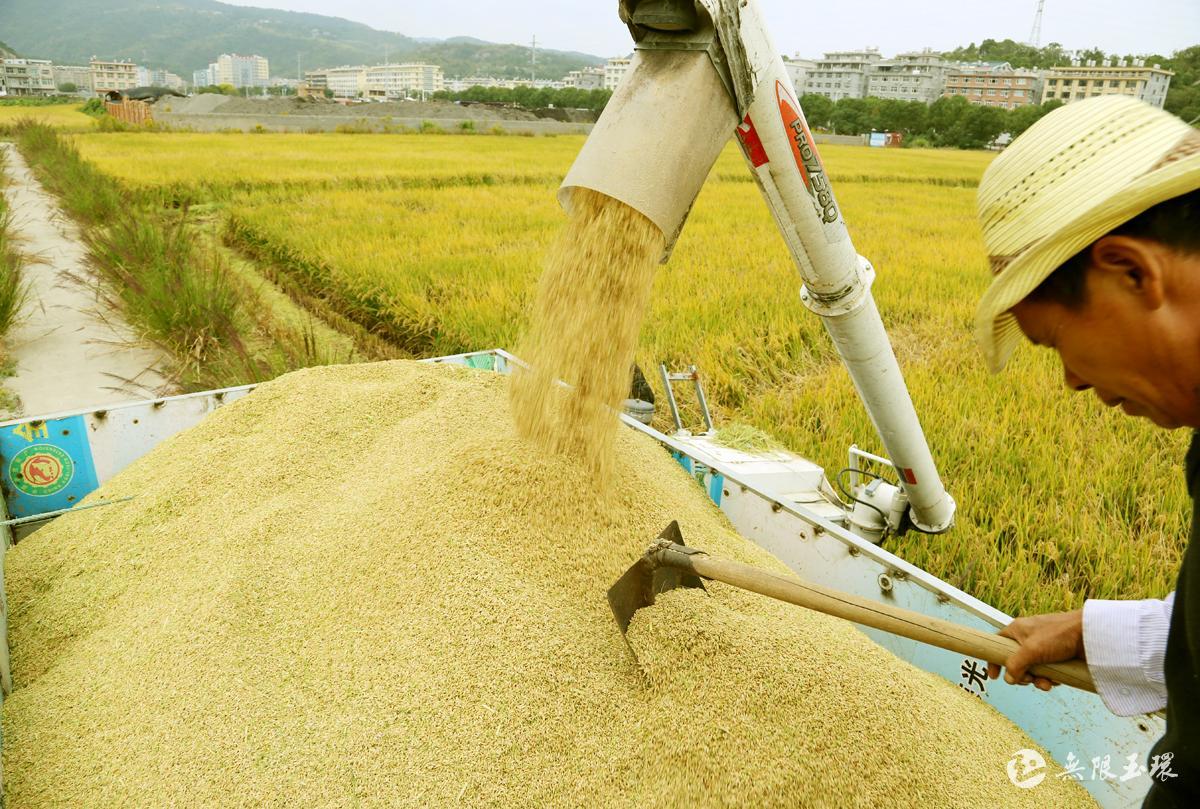 玉环:收割晚稻忙