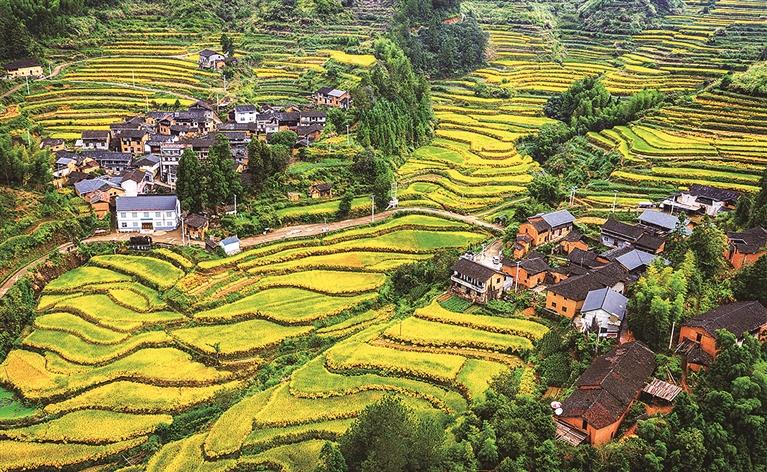 金黄色的稻田在阳光下熠熠生辉