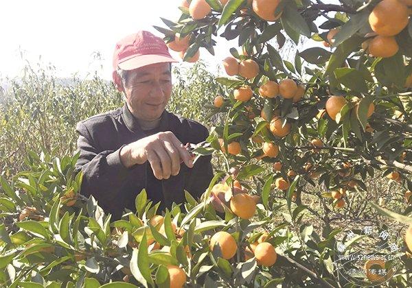 8000多斤金钱蜜橘