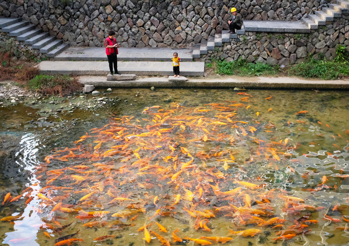 锦鲤欢快地在黄溪里游动