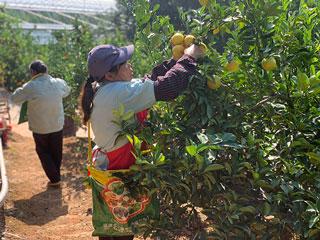 工人忙采甜桔柚