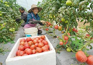 农户采摘西红柿