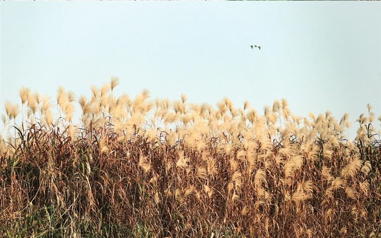 湿地芦花美如画