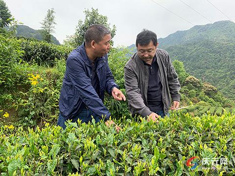 投身茶产业 致力带动更多村民致富