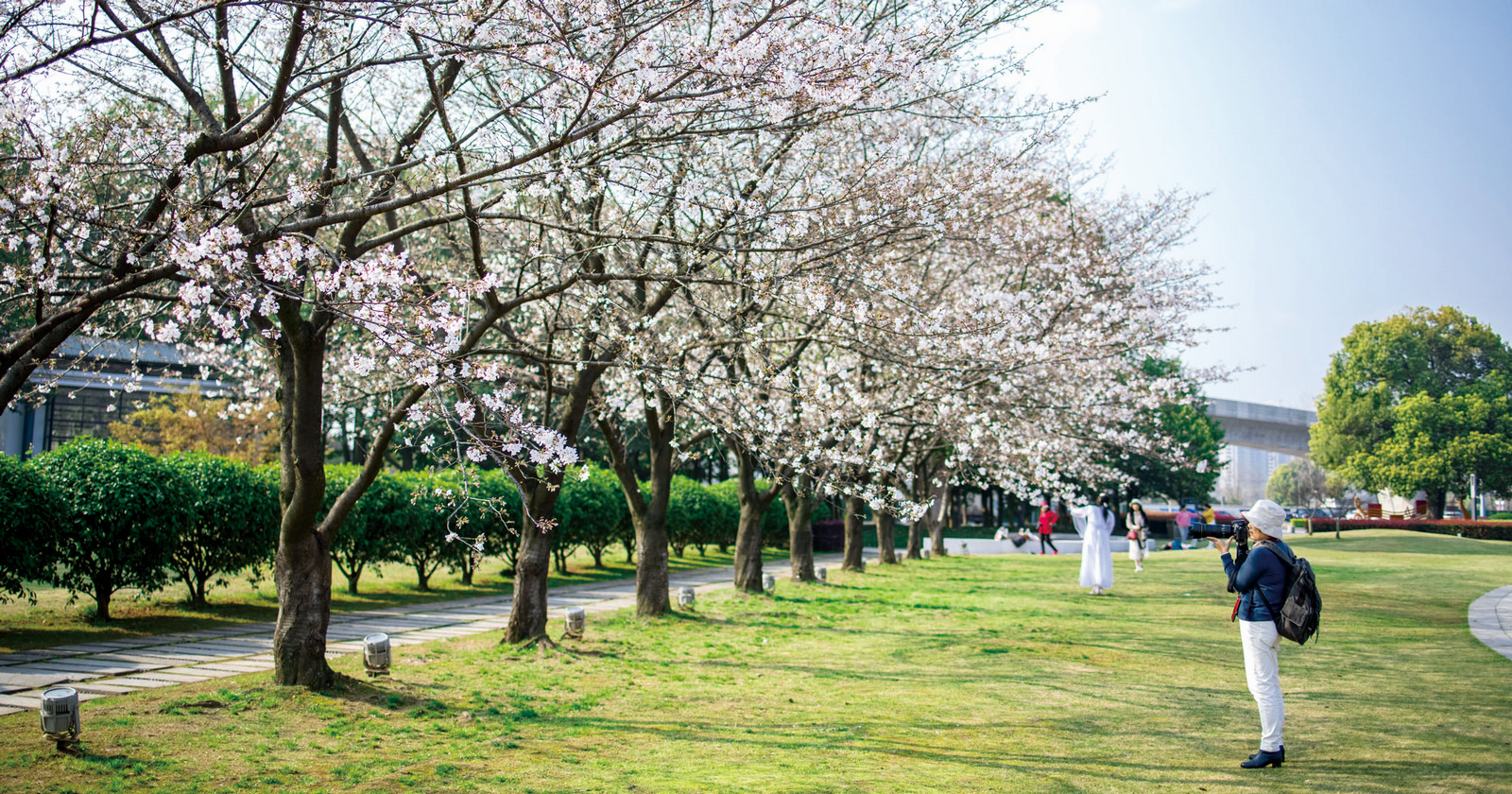 樱花迎春开