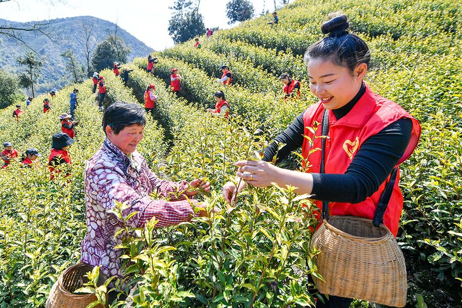 百名党员 助农采茶