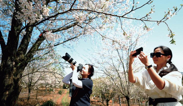 樱花盛开春意浓