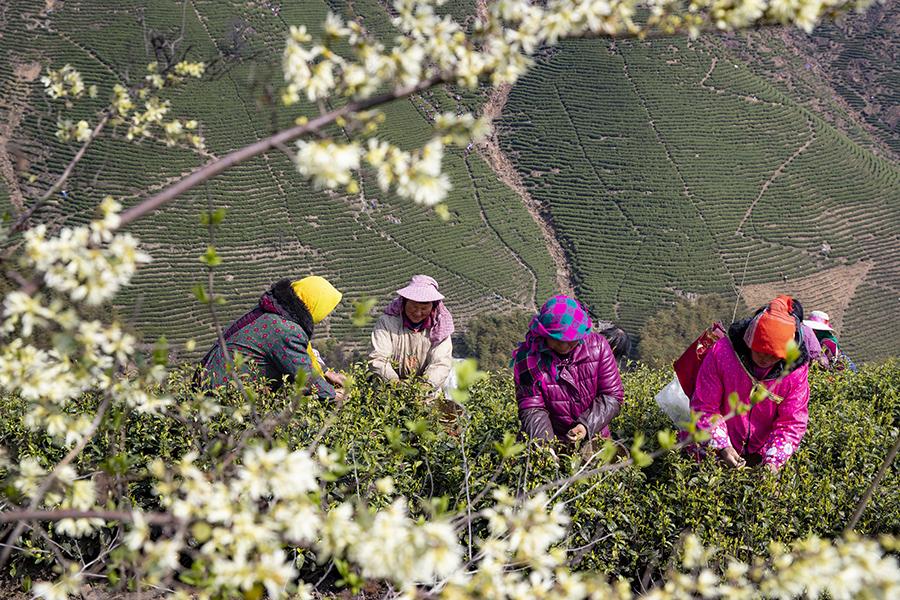 争分夺秒 抢摘春茶