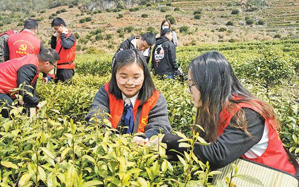 志愿者协助茶农采茶