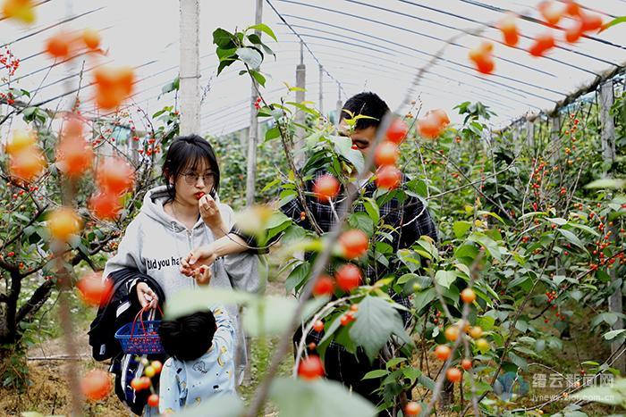 樱果飘香 引游客