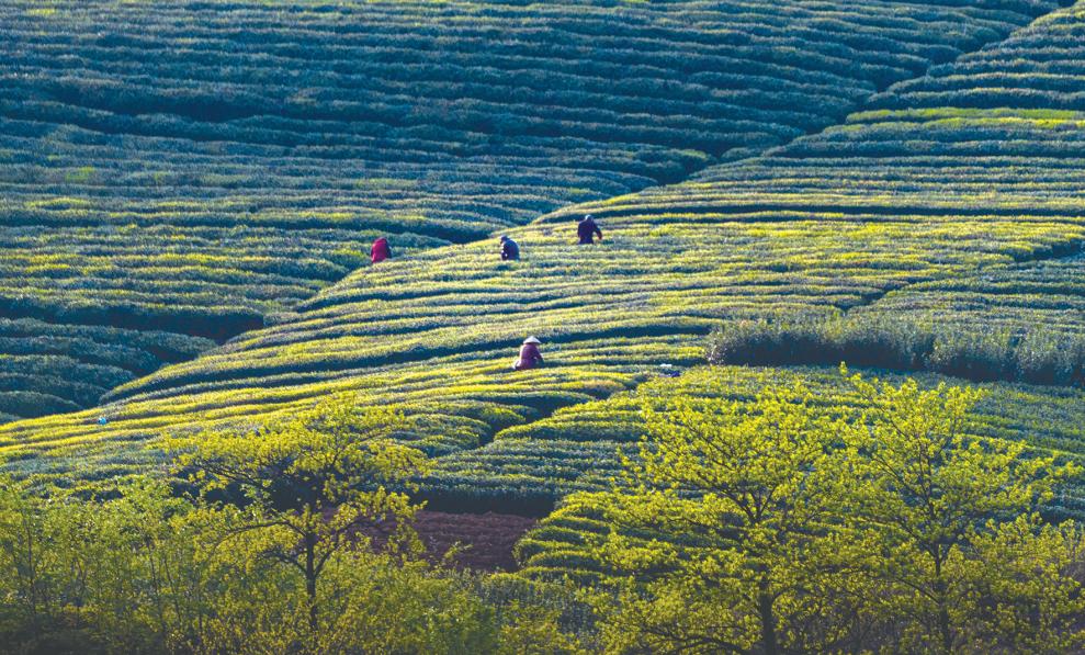 一缕茶香 一览茶乡