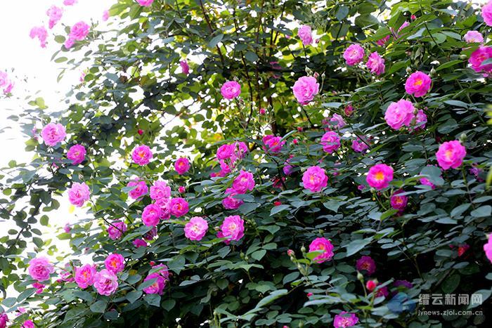 满架蔷薇一路香